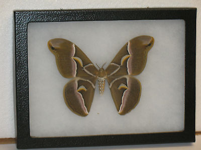 Real framed Cynthia Moth from North America