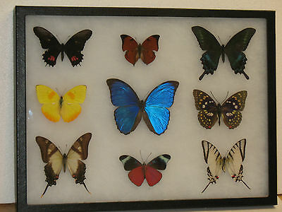 Real framed Butterfly collection #4