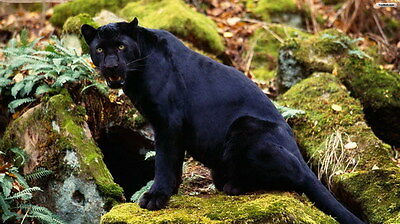 "038 BLACK PANTHER - Big Cats Animal 42""x24"" Poster"