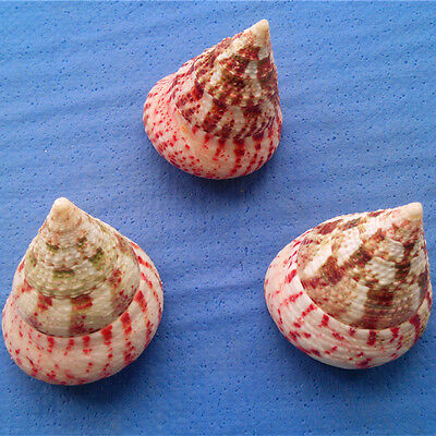 100%Natural Beautiful top rare real sea Shell Conch  EBK019