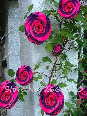 20PCS Rare Rose Tree Seeds Multi Colors Mixed Beautiful Flower Potted Balcony