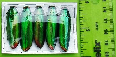 Lot of 20 Pretty Jewel Beetle Chrysochroa aurora Great For Jewelry FAST FROM USA