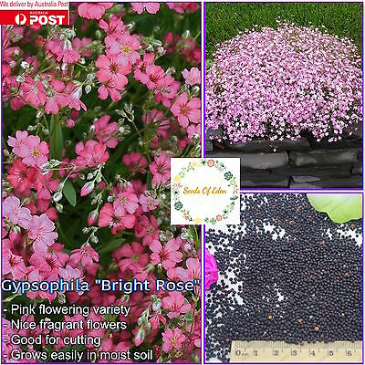 "50 GYPSOPHILA ""BABY'S BREATH"" SEEDS(Gypsophila elegans); Fragrant flowers"