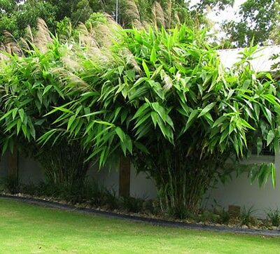 TIGER GRASS Thysanolaena maxima fast-growing tropical plant in 175mm pot