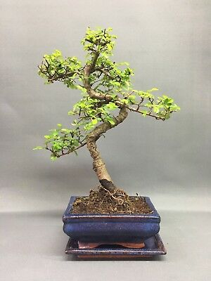 Bonsai Tree, Chinese Elm, 20-25cmTall With ceramic tray