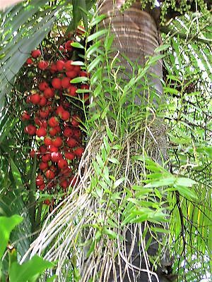 Foxtail Palm 10 seeds freshly harvested