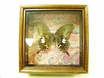 Framed Taxidermy Entomology Lepidoptera: Unidentified Butterfly / Moth