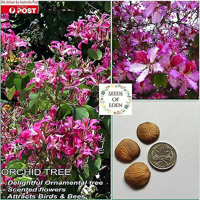 7 PURPLE ORCHID TREE SEEDS (Bauhinia variegata purpurea); Easy to grow