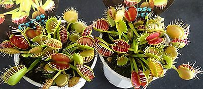 "Venus Fly Trap ""Cross Tooth or Freak"" Carnivorous Plant"