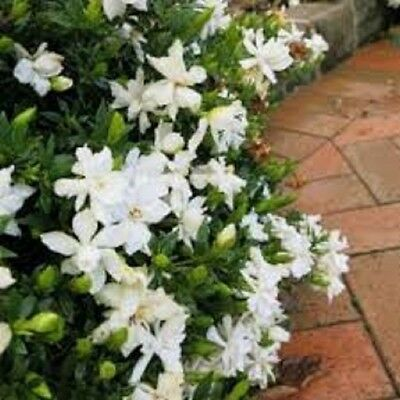 20 x GARDENIA RADICANS fragrant white flowers groundcover plants in 40mm pots