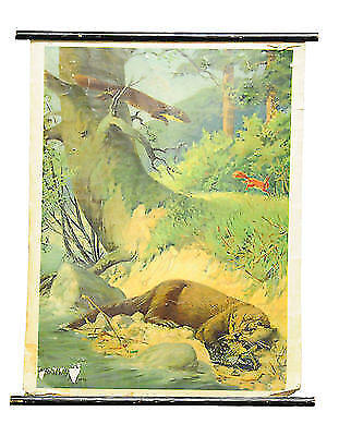 old wall chart rollable poster marten weasel family river otter hunting r0207