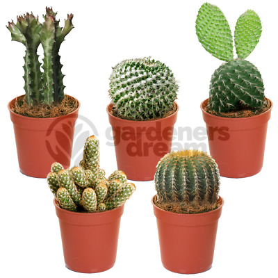 Cactus Mix - 5 Plants - House / Office Live Indoor Pot Plant - Ideal Gift