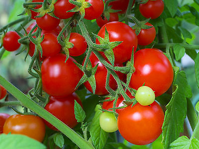 Tomato Sweetie (80 seeds)- Organic Heirloom from Life-Force Seeds