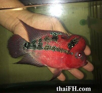 "FEMALE SRD flowerhorn cichlid big kok laid eggs 5.5"" (live fish) pictured la hán"