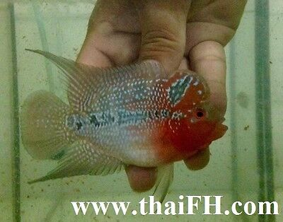 "SUPER RED DRAGON FLOWERHORN FISH 5"" (live fish) pictured"