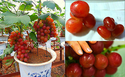 """SEEDS – Dwarf GIANT Red Grape """"Aki Queen"""" Japanese Upright Self-pollinating tree"""