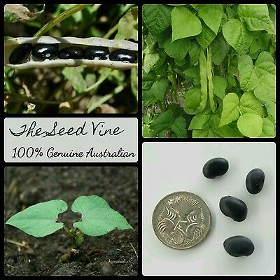 20+ ORGANIC BLACK BEAN SEEDS (Phaseolus vulgaris 'Black Turtle') Salad Latin