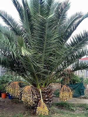 Palm Tree -  the trunk is 90cm high Pick up from Werribee Vic.