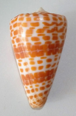 Conchiglia Shell CONUS TESSULATUS Madagascar 54,2 mm AWESOME PATTERN #