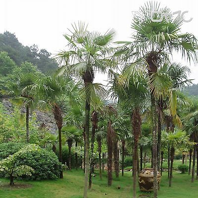 CHINESE WINDMILL PALM (Trachycarpus Fortunei) 10+EXTRA seeds (#368)
