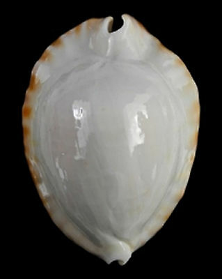 Conchiglia Shell CYPRAEA ZOILA KETYANA HYPERMARGINATA Australia 52,2 mm THE BEST