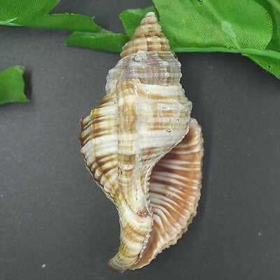 Beautiful top rare real sea Shell dragon head Conch CCC026J