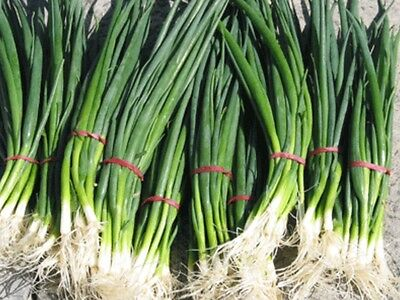 """Spring Onion Seeds """"200 Seeds"""" Excellent Herb For Any Garden"""
