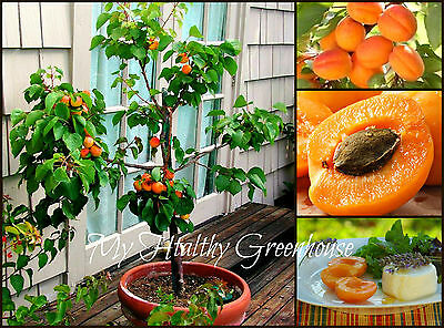 "SEEDS – Dwarf ""Rouge du Roussillon"" Apricot Fruit Tree Variety, Hardy, Blossom"