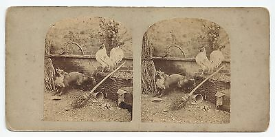 Stereo Stereoview Genre Still Life COCK AND FOX T.R. WILLIAMS London 1850er