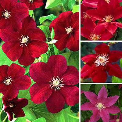 1 X Clematis Dark Red Coloured Large Flowering Climber Hardy Plant In Pot