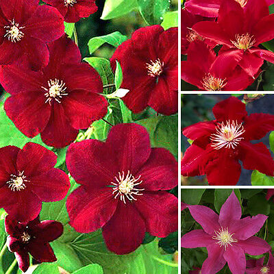 3 X Clematis Dark Red Coloured Large Flowering Climber Hardy Plant In Pot