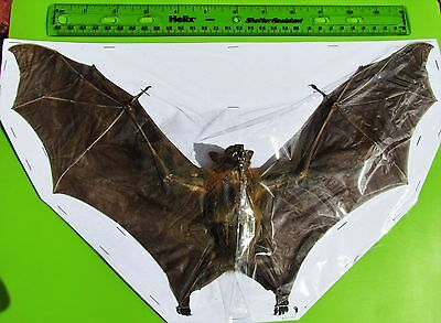 """Lesser Short-nosed Fruit Bat Cynopterus brachyotis Spread 13+"""" Span FAST FROM US"""