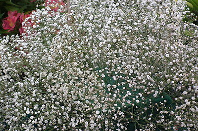 50000 Seeds of Gypsophila Cloud White / Ideal for bunch of flowers