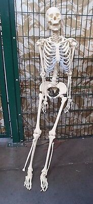 Life Size Human Educational  Skeleton - Human Body Skeleton Model - Training