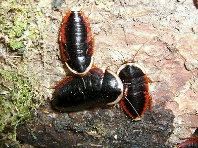 12 X Opisthoplatia orientalis, blattes, cockroach, red and black roach