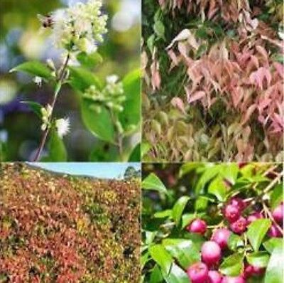20 x LUEHMANNII Syzygium native hardy Lilly Pilly plants in 50mm pots