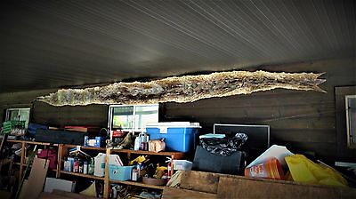 Python Snake Skin Over 21 Feet Long