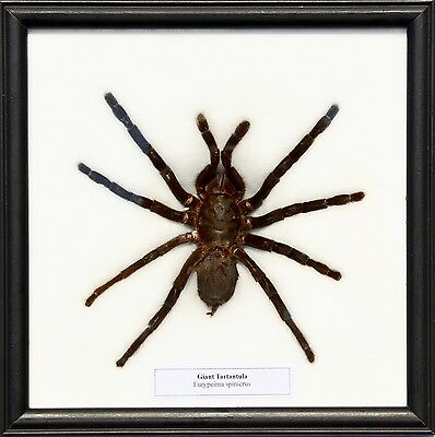 Real Giant Tarantula Spider Mounted in Framed Display / Taxidermy
