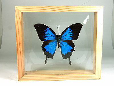 Ulysses Blue Butterfly Taxidermy Display Frame Double Side Glass Gift FS gpasy