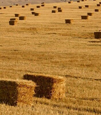 Hay bales small heavy squares a mixture of rye, fescue and hay.