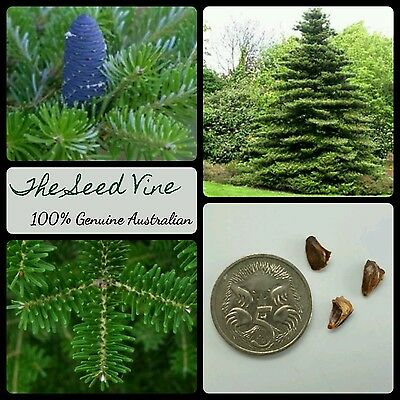 20+ KOREAN FIR TREE SEEDS (Abies koreana) Pine Hardy Christmas Season Bonsai