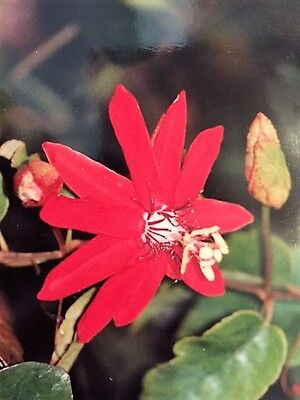 Passiflora Coccinea – Red Flowering Passionfruit 10 Fresh Seeds