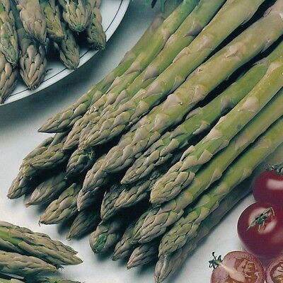 4 Pack - Asparagus Plants (Mary Washington) - Small but Healthy - 7cm pot