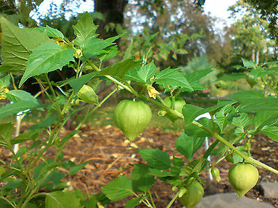 4 Pack - Physalis Peruviana Chinese Lantern / Cape Gooseberry Plants in 7cm pots