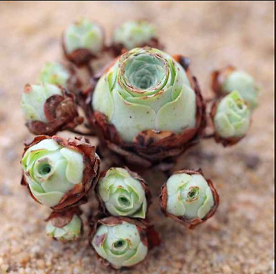 Rare succulent, Aeonium Greenovia Aurea, mountain rose, 10 seeds