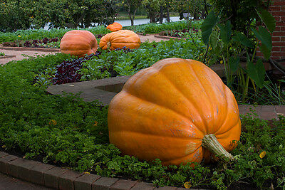Pumpkin GIANT PUMPKIN- SHOW & COMPETITION PACK- 4 VARIETIES- 20 SEEDS