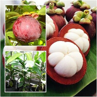 """Mangosteen Tree Plant """"Mangkhud"""" Tall 22"""" Delicious Queen Of Fruit From Thailand"""