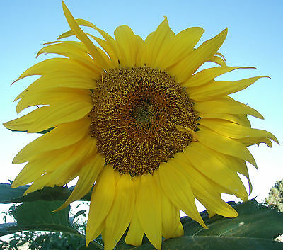 200 Seeds of SUNFLOWER giant MONGOLIA / HELIANTHUS ANNUUS