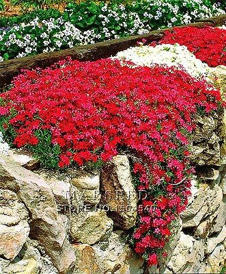 300PCS PERENNIAL FLOWERING GROUNDCOVER SEEDS Rock Cress Bright Red Bonsai Seed