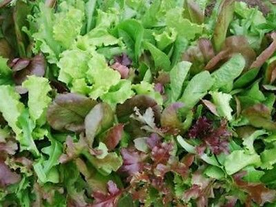 """Lettuce Seeds Mixed """"Approx 500 Seeds"""" Excellent Variety"""